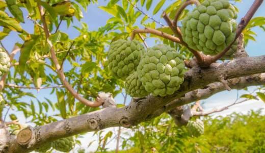 釈迦頭とは?台湾の隠れ名産フルーツはマンゴー以上だった!!