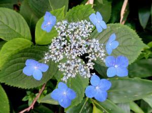 55鮮やかな青色のエゾアジサイ