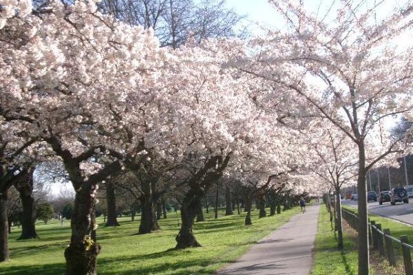 ハグレーパーク 桜