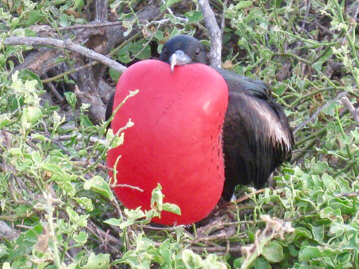 magnificent frigatebird galapagos islands