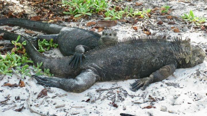 iguanas Galapagos islands