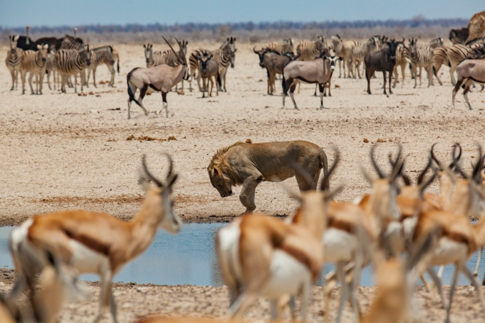 wildlife in Namibia, game viewing, lion, gazelle, zebra