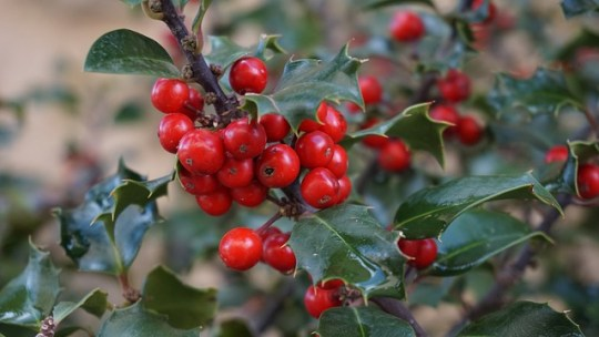 holly-tree-1030595_640
