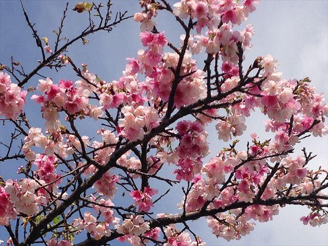 沖縄の寒緋桜2