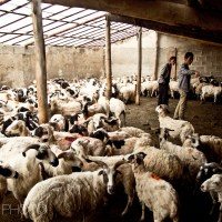 Islamic slaughtering of a sheep