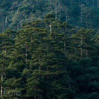 Forest Scenes #4 - The thick forests of Huangshan