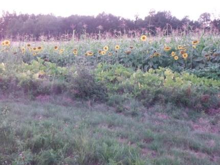 corn sunflower and squash