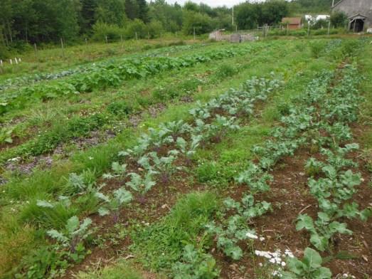 garden in july kale