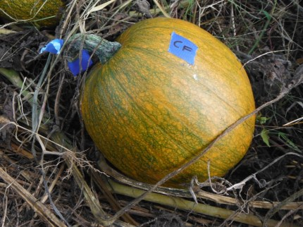 hand pollinated pumpkin