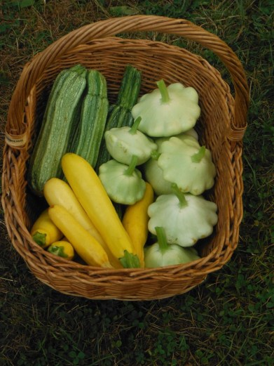 harvest basket of summer squash