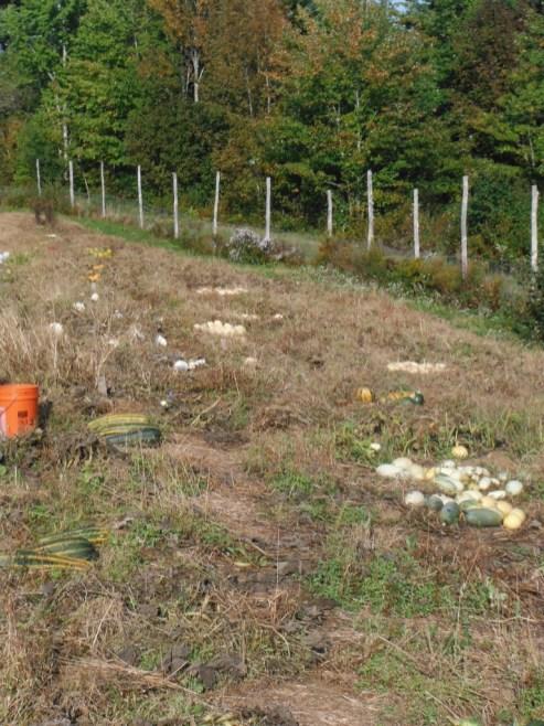 squash patch harvest