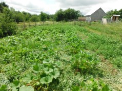 squash patch in july after mowing cover crop