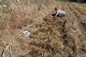 potato harvest