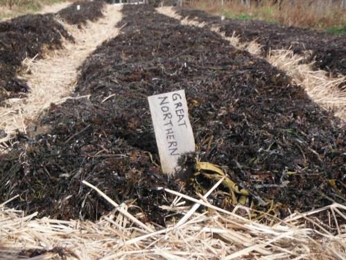 garlic, seaweed mulched 1