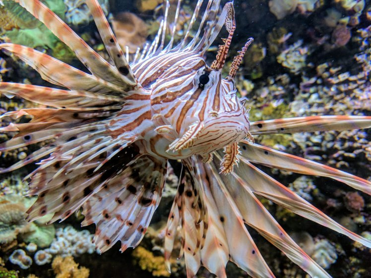 Lionfish at the Seattle Aquarium