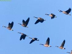 animals-waterfowl_wild-formation