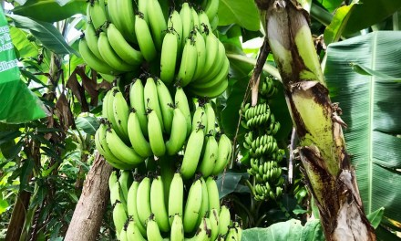 La pandemia del banano atemoriza a América Latina y el Caribe