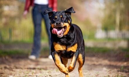 Rottweiler y pug, los perros favoritos en Iberoamérica