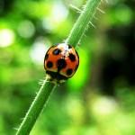 Ladybug = Nyonya serangga…?