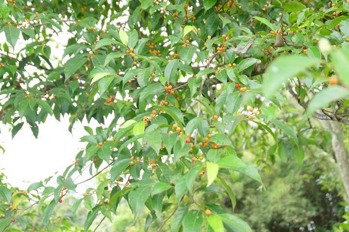 Pohon dengan buah unik dengan nuansa hutan di taman Ngarai Maaram Bukittinggi