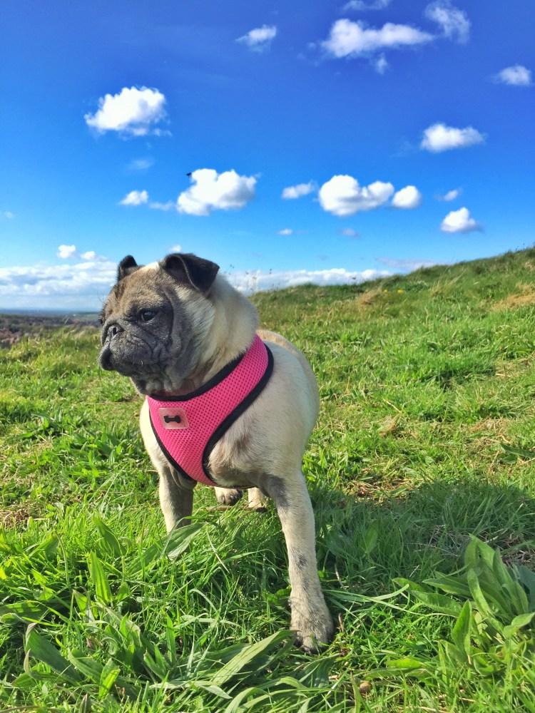 Pug Diaries (2/4)