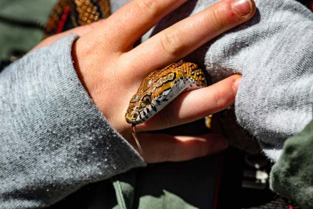 A corn snake can make for a great family pet.