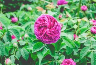 Rose 'Charles de Mills'