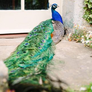 Mr P the resident peacock