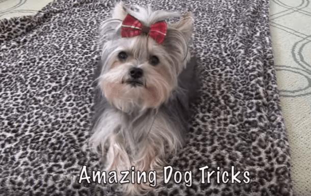 Yorkie Misa Minnie and her Charming Dog Tricks