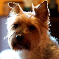 5 Common Yorkshire Terrier Health Issues