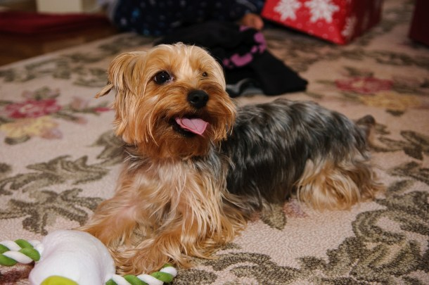 Yorkshire Terrier Coat Care Tips
