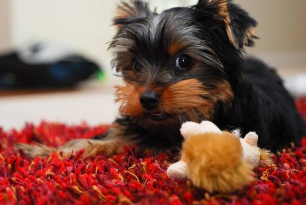 Allergies in Yorkshire Terrier