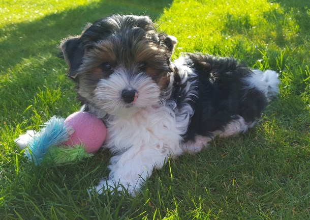 Know a few Things You Should Know About Yorkshire Terrier
