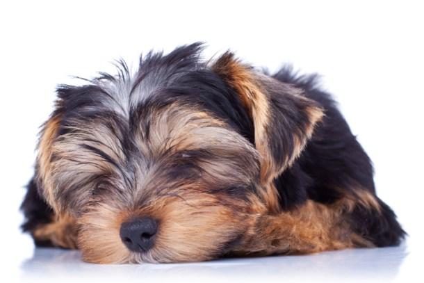 Seizure in Yorkshire Terriers