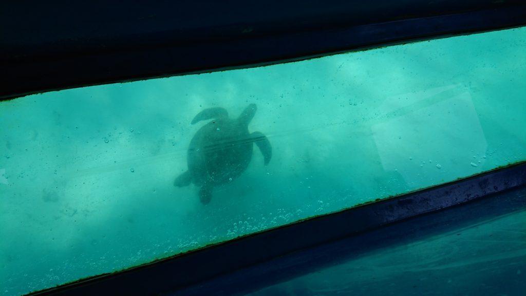 与論島・グラスボートからウミガメ
