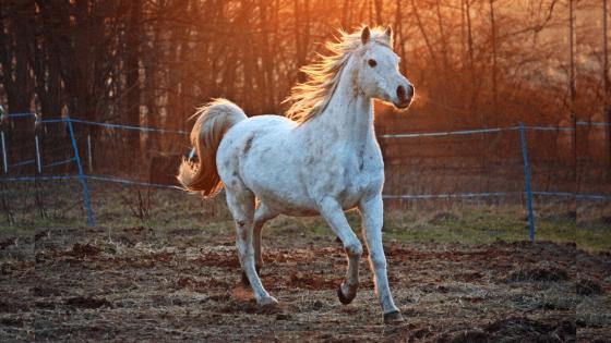 美しく駆ける白い馬