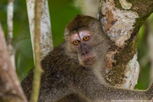 kinabatangan sabah malaysia borneo long tail macaque