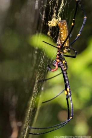 Not only birds inhabit the Arfak Mountains, also lots of colorful spiders and other insects