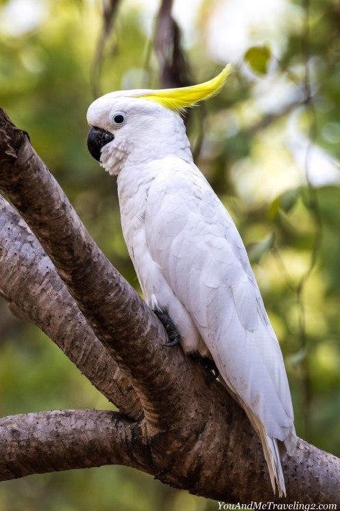australia-kakadu-cockatoo-wildlife-bird-6791
