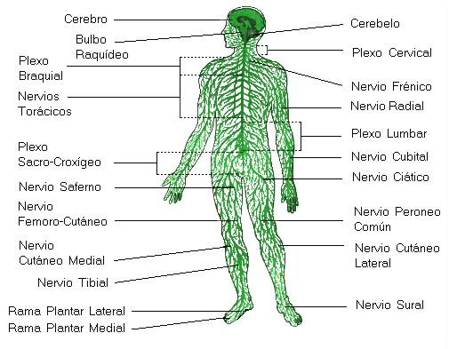 El Sistema Nervioso (I): Organización general