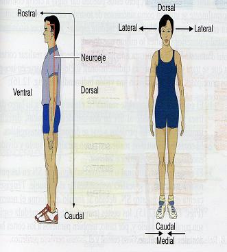 El Sistema Nervioso (II): Ejes y planos de referencia (1/4)