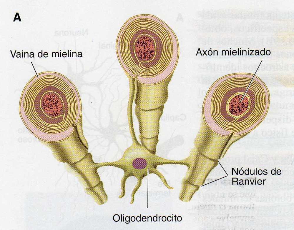 El Sistema Nervioso (III): Células del Sistema Nervioso (6/6)