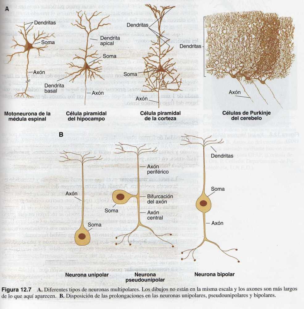 El Sistema Nervioso (III): Células del Sistema Nervioso (4/6)