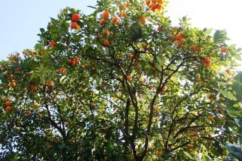 Puis on monte au forum Palatin, Il y a des Orangers de Partout ! Mais Doudou n'a meme pas été suffisement galat pou m'en cueillir une !