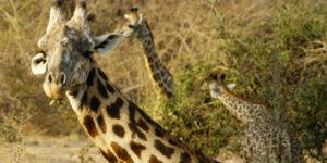 Giraffes eating.