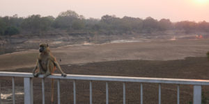Baboon chillin' at sunset over the bridge into South Luangwa National Park.