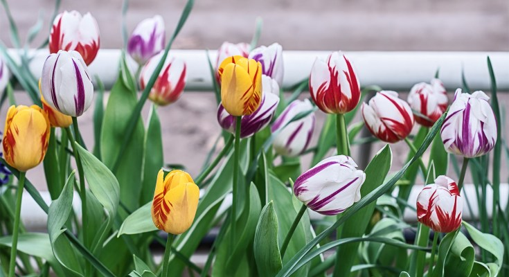 Striped tulips, a mixture of varieties Tulipa Rembrandt striped Mixed