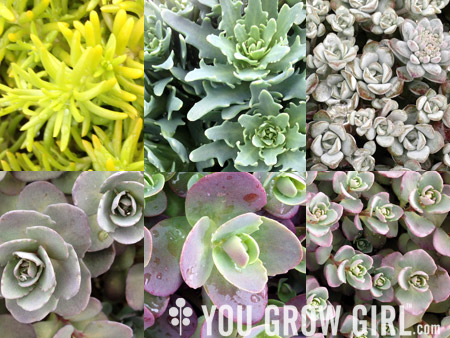 You grow girl 6 hardy succulent sedums for your garden and pots mightylinksfo