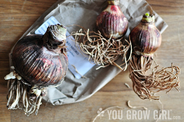 How to Plant an Amaryllis Bulb