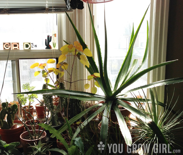 You Grow Girl Giant Agave Threatens To Take Over Small Office
